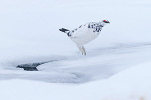 Ptarmigan (Lagopus mutus) male jumping across semi frozen stream, Cairngorms National Park, Scotland, UK, February. - SCOTLAND: The Big Picture