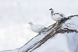 Ptarmigan (Lagopus mutus) pair standing on a snow covered boulder, Cairngorms National Park, Scotland, UK, February. - SCOTLAND: The Big Picture