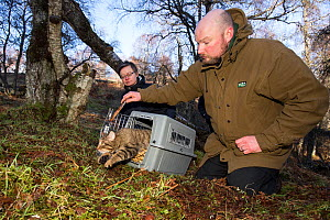 Conservationist for The Royal Zoological Society Scotland / RZSS and Scottish Wildcat Action Officer releasing a Scottish wildcat (Felis silvestris grampia) after taking blood and semen samples.  Stra... - SCOTLAND: The Big Picture
