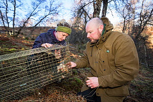 Conservationists setting a live trap to bait Scottish wildcats (Felis silvestris grampia). Genetic testing and semen sampling to be carried out by The Royal Zoological Society Scotland / RZSS, Straths... - SCOTLAND: The Big Picture