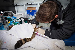 Veterinarian from The Royal Zoological Society Scotland / RZSS using a catheter to collect semen for genetic testing from a sedated Scottish wildcat (Felis silvestris grampia). Inside RZSS mobile vet... - SCOTLAND: The Big Picture