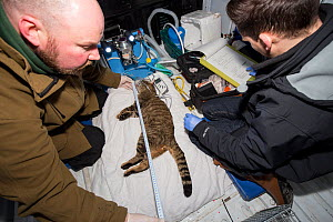 Veterinarian and conservationist from The Royal Zoological Society Scotland / RZSS taking and recording measurements relating to sedated Scottish wildcat (Felis silvestris grampia) male. Inside RZSS m... - SCOTLAND: The Big Picture