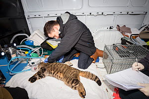 Vet from The Royal Zoological Society Scotland / RZSS taking a blood sample from a sedated Scottish wildcat (Felis silvestris grampia) male. Inside RZSS mobile vet unit, Strathsprey, Cairngorms Nation... - SCOTLAND: The Big Picture