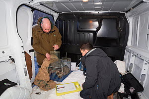 Conservationist and veterinarian from The Royal Zoological Society Scotland / RZSS checking live trap with Scottish wildcat (Felis silvestris grampia) inside. In mobile vet unit, Strathsprey, Cairngor... - SCOTLAND: The Big Picture