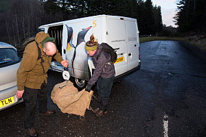 Conservationists from The Royal Zoological Society Scotland / RZSS checking the weight of a Scottish wildcat (Felis silvestris grampia) inside live trap, Strathsprey, Cairngorms National Park, Scotlan...  -  SCOTLAND: The Big Picture