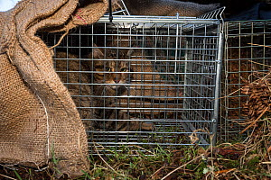 Scottish wildcat (Felis silvestris grampia) caught inside spring trap. Genetic testing and semen sampling to be undertaken, Strathsprey, Cairngorms National Park, Scotland, UK, February 2017. - SCOTLAND: The Big Picture