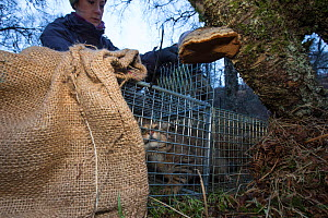 Field researcher from The Royal Zoological Society Scotland / RZSS transferring a live trapped Scottish wildcat (Felis silvestris grampia) into a carry cage. Genetic testing and semen sampling to be u... - SCOTLAND: The Big Picture