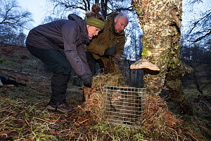 Conservationists from the Royal Zoological Society Scotland / RZSS checking live trap with Scottish wildcat (Felis silvestris grampia) inside. Genetic testing and semen sampling to be undertaken, Stra... - SCOTLAND: The Big Picture