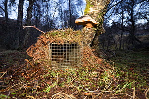 Scottish wildcat (Felis silvestris grampia) inside camouflaged spring trap. Genetic testing and semen sampling to be undertaken, Strathsprey, Cairngorms National Park, Scotland, UK, February 2017. - SCOTLAND: The Big Picture