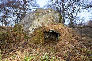 Spring trap set and camouflaged with bait inside to entice Scottish wildcat (Felis silvestris grampia) to enter. Wildcats to be tested and samples of semen taken, Strathsprey, Cairngorms National Park...  -  SCOTLAND: The Big Picture