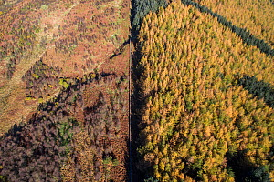 Aerial view of fence dividing regenerating Birch woodland from plantation woodland. Part of Carrifran Wildwood, a replanting initiative led by the Borders Forest Trust, Moffat Hills, Scotland, UK, Nov... - SCOTLAND: The Big Picture