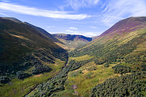 Forest regeneration in Carrifran. Part of Carrifran Wildwood, a replanting initiative led by the Borders Forest Trust, Moffat Hills, Scotland, UK, August 2016.  -  SCOTLAND: The Big Picture