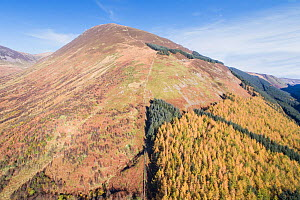 Forest regeneration in Carrifran. Trees planted to reverse environmental degradation. Part of Carrifran Wildwood, an initiative led by the Borders Forest Trust, Moffat Hills, Scotland, UK, November 20... - SCOTLAND: The Big Picture