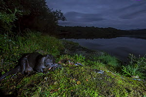 Eurasian otter (Lutra lutra) eating fish at night on mossy bank at edge of loch, Scotland, UK, September.  -  SCOTLAND: The Big Picture