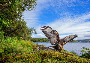 Common buzzard (Buteo buteo) landing on prey, wings open, Scotland, UK, September 2016. - SCOTLAND: The Big Picture