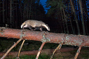 European badger (Meles Meles) walking along fallen tree trunk at night, Cairngorms National Park, Scotland, UK, April - SCOTLAND: The Big Picture