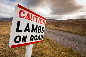 Sign warning of lambs / sheep on road, Sutherland, Scotland, UK  -  SCOTLAND: The Big Picture