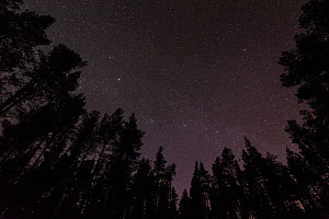 Stars above Scots pine (Pinus sylvestris) woodland on clear night, Glenfeshie, Cairngorms National Park, Scotland, June  -  SCOTLAND: The Big Picture