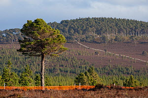 Scots pine (Pinus sylvestris) tree growing outside of deer fence marked with anti-collision tape for grouse, Kinveachy, Carrbridge, Cairngorms National Park, Scotland, June - SCOTLAND: The Big Picture