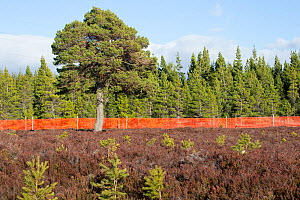 Scots pine (Pinus sylvestris), mature tree and saplings growing outside of deer fence marked with anti-collision tape for grouse, Kinveachy, Carrbridge, Cairngorms National Park, Scotland, June - SCOTLAND: The Big Picture