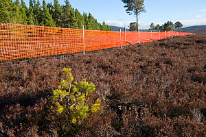 Scots pine (Pinus sylvestris) sapling growing outside of deer fence marked with anti-collision tape for grouse, Kinveachy, Carrbridge, Cairngorms National Park, Scotland, June - SCOTLAND: The Big Picture