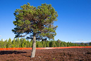 Scots pine (Pinus sylvestris) growing outside of deer fence marked with anti-collision tape for grouse, Kinveachy, Carrbridge, Cairngorms National Park, Scotland, March - SCOTLAND: The Big Picture
