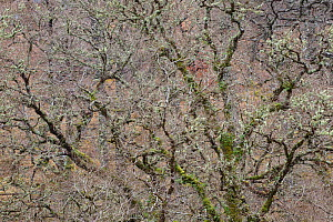 Sessile oak (Quercus petraea) covered in moss and lichen, Rahoy Hills, Morvern, Ardnamurchan, Scotland, UK, June 2017  -  SCOTLAND: The Big Picture