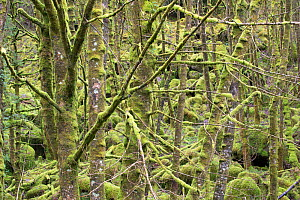 Mixed woodland draped in mosses and lichens, Lochaline, Morvern, Lochaber, Scotland, UK, March - SCOTLAND: The Big Picture