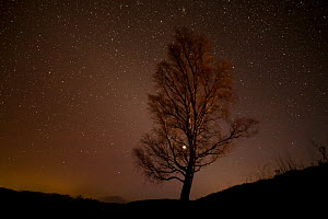 Silver birch (Betula pendula) tree silhouetted against night sky, Glenfeshie, Cairngorms National Park, Scotland, UK, December.  -  SCOTLAND: The Big Picture