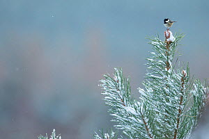 Coal tit (Periparus ater) perching on snow covered Scots pine, Glenfeshie, Scotland, UK, January.  -  SCOTLAND: The Big Picture