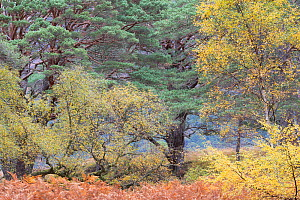 Mixed Silver birch (Betula pendula) and Scots pine (Pinus sylvestris) woodland, Beinn Eighe National Nature Reserve, Wester Ross, Scotland, October.  -  SCOTLAND: The Big Picture