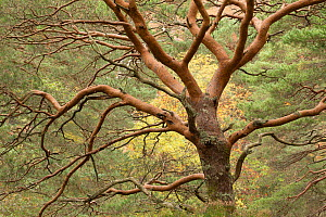 Scots pine (Pinus sylvestris), Beinn Eighe National Nature Reserve, Wester Ross, Scotland, UK, October.  -  SCOTLAND: The Big Picture