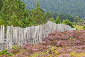 Deer fence protecting Scots pine (Pinus sylvestris) woodland from browsing, Abernethy Forest, Abernethy National Nature Reserve, Cairngorms National Park, Scotland, UK, June - SCOTLAND: The Big Picture