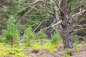 Scots pine (Pinus sylvestris) saplings and mature tree in Abernethy Forest, Abernethy National Nature Reserve, Cairngorms National Park, Scotland, UK, June - SCOTLAND: The Big Picture