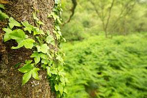 Ivy (Hedera helix) growing on Oak (Quercus sp) tree in Atlantic oak woodland, Taynish National Nature Reserve, Argyll, Scotland, UK, June. - SCOTLAND: The Big Picture