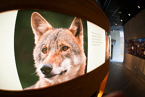 Eurasian wolf (Canis lupus lupus) photo by Staffan Widstrand  at the Big Five  Carnivore Information Centre. The exhibition explores man's complex relationship with big carnivores in Sweden. - SCOTLAND: The Big Picture