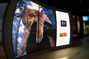 Hunted Eurasian lynx (Lynx lynx) photo by Magnus Elander at the Big Five Carnivore Information Centre. The exhibition explores man's complex relationship with big carnivores in Sweden.  -  SCOTLAND: The Big Picture