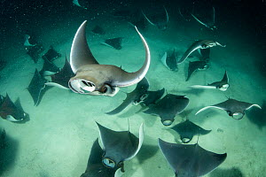 School of Munk's devil ray, (Mobula munkiana), feeding on plankton at night, Espiritu Santo Island, Sea of Cortez, Baja California, Mexico, East Pacific Ocean - Franco  Banfi