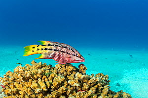 Mexican hogfish (Bodianus diplotaenia) female, Sea of Cortez, Baja California, Mexico, East Pacific Ocean  -  Franco  Banfi