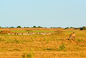 African lioness (Panthera leo) Following a red lechwe herd (Kobus leche) in Duba Plains concession. Okavango delta, Botswana  -  Eric Baccega