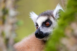 Ring tailed lemur (Lemur catta) portrait, Berenty Private Reserve, southern Madagascar. - David  Pattyn