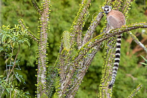 Ring tailed lemur (Lemur catta) sitting on spiny plant, Berenty Private Reserve, southern Madagascar. - David  Pattyn
