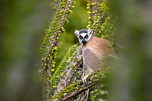 Ring tailed lemur (Lemur catta) sitting amongst spiny plants, Berenty Private Reserve, southern Madagascar. - David  Pattyn