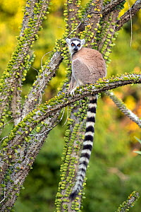 Ring tailed lemur (Lemur catta) sitting on branch amongst spiny plants, Berenty Private Reserve, southern Madagascar. - David  Pattyn