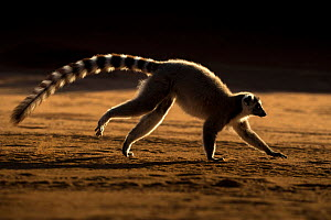 RF - Ring tailed lemur (Lemur catta) running, Berenty Private Reserve, southern Madagascar. (This image may be licensed either as rights managed or royalty free.) - David  Pattyn
