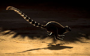 Ring tailed lemur (Lemur catta) running, Berenty Private Reserve, southern Madagascar. - David  Pattyn
