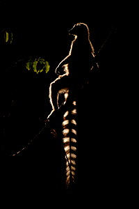 RF - Ring tailed lemur (Lemur catta) sitting on branch, backlit in late afternoon light, Berenty Private Reserve, southern Madagascar. (This image may be licensed either as rights managed or royalty f... - David  Pattyn