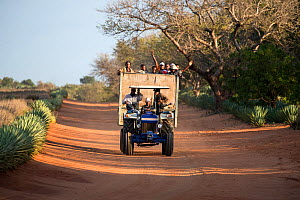 Workers returning from Sisal plantations in tractor and trailer along dirt track, Berenty Private Reserve, southern Madagascar, August 2016.  -  David  Pattyn