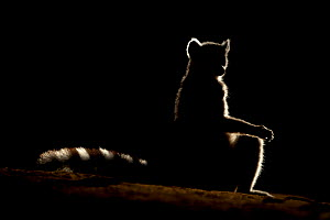 Ring tailed lemur (Lemur catta) sitting, backlit in late afternoon light, Berenty Private Reserve, southern Madagascar. - David  Pattyn