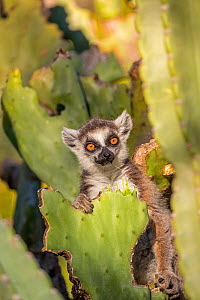 RF - Ring tailed lemur (Lemur catta) feeding on nibbled cactus, Berenty Private Reserve, southern Madagascar. (This image may be licensed either as rights managed or royalty free.) - David  Pattyn